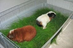 DIY Wheatgrass tub for guinea pigs