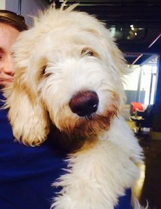 Stinson The Goldendoodle. www.OffLeashDogTraining.com