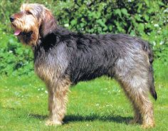 Otterhound= a scent hound, is unique among hounds because of his rough, double coat and substantial webbed feet. He uses these features to hunt on both land and water. With his large, strong body and inquisitive nose, the Otterhound is willing to work all day.Amiable, boisterous and even-tempered, the Otterhound enjoys his family, but may not be the best breed for toddlers or a frail elderly person due to his size