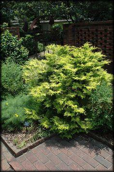 Cripps Gold Falsecypress - evergreen shrub for cold climate