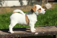 8 things you didn't know about the Jack Russell Terrier. #JackRussell #dogs