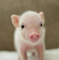 PIGLET by Sweet Angel Wings Pigs Micro piglet miniature pig baby animals pets baby animal micro micropig pet family minipig small funny videos best piggie piggies Самые смешные фото и видео дикой природы Wildlife Photography Awards 2020 Cute Baby Pigs, Baby Piglets, Cute Piglets, Baby Animals Super Cute, Cute Little Animals, Cute Funny Animals, Cute Dogs, Baby Animal Videos, Baby Animals Pictures