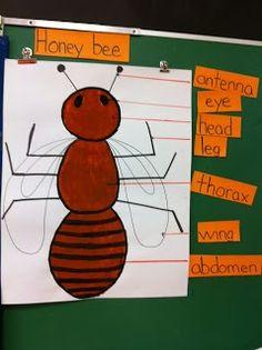 kindergarten bee anatomy | Mrs. LaRiviere's Kindergarten: Honey bees. Love the anatomy ... | The ...