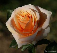 ~Srezochnyh (Florists Rose) 'Versilia', NIRP International France, 1996