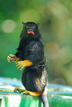 Golden-handed Tamarin by jeremyhughes, via Flickr