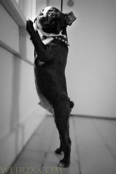 Boston Terrier. so cute!