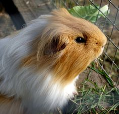 """wistful""  Guinea pig by Gill Stafford, via Flickr"