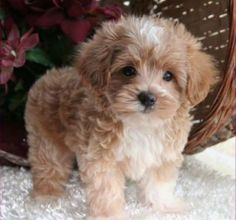 Look at this baby! #MaltiPoo #Puppy #CutenessOverload