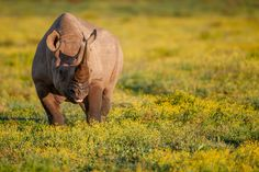 Untitled - Undisclosed loaction, a black rhino male browses amongst a field of gold.