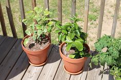 "I decided to try raising some dwarf citrus trees to see how well they do here in northern Michigan. My daughter was very excited at the local greenhouse looking at all the plants but was particularly amazed when she saw the ""baby"" lemon and lime trees. I couldn't say no and so we welcomed a lemon … Continue reading Dwarf Citrus Trees – Lemon and Limes in the North!"