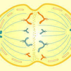 Learnboard: Cell Division