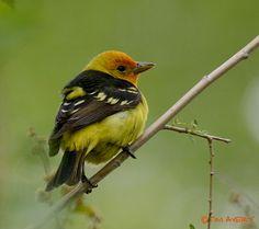 Backyard Bird Identification Orioles, Tanagers