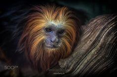 Leontopithecus ( Tamarin Lion) - Leontopithecus ou Tamarin lion. Zoo de Beauval. by CocoChewy 500px