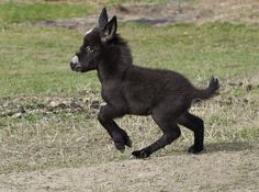 Okay, that decides it.  If I ever live where I have the room to do it, I am going to raise Miniature Mediterranean Donkeys!