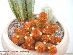 Mammillaria Elongata 'Rubispinus' syn 'Copper King'