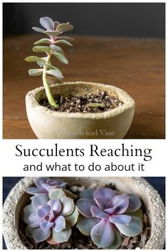 to do When a Succulent Grows Tall and Leggy If you have succulents growing tall and leggy you can easily fix the problem and bring the plant back to its original beauty.If you have succulents growing tall and leggy you can easily fix the problem and bring Succulent Care, Succulent Gardening, Succulents Garden, Garden Plants, Container Gardening, House Plants, Planting Flowers, Organic Gardening, Vegetable Gardening