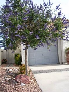 Vitex or Chaste tree is a smaller tree than the other two. None of the three trees are trees that originate from deserts. However, all three will perform in a desert landscape reasonably well. Texas Landscaping, Privacy Landscaping, Landscaping Plants, Front Yard Landscaping, Luxury Landscaping, Landscaping Ideas, Backyard Ideas, Garden Ideas, Drought Tolerant Trees