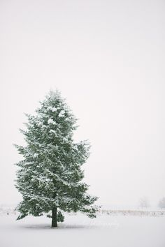 Lone pine in snow   Pam Cooley Photography