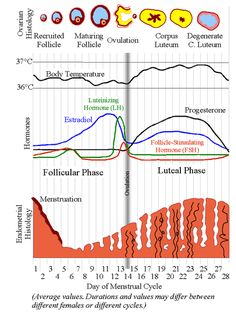 This chart shows the progression of the follicle/corpus luteum, body temperature, hormone levels, and the building of the uterine lining during an average female cycle. Ovulation is marked by the grey vertical line. Ovarian Follicle, Conceiving A Boy, Remedies For Menstrual Cramps, Having A Baby Boy, Baby Massage, Menstrual Cycle, Endometriosis, Midwifery, Pcos