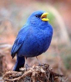 Blue Finch. Photos via birding brazil and bluefinch