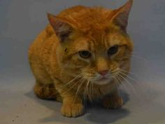 TONY - A1063840 - - Brooklyn  ***TO BE DESTROYED 02/03/16*** GINGER BOY TONY WOULD LOVE TO HAVE A HOME AND A SPECIAL PURRSON TO LOVE HIM – NOW HE HAS UNTIL NOON FOR THAT MIRACLE TO HAPPEN! TONY was brought into the shelter as a stray with two other cats named Jack and Middy who have already made an appearance on the euth list and their status is unknown at this time. TONY allowed all handling upon intake but was a bit grumbly on his assessment – which gave him t