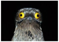 30 Potoo Facts: The Bird Behind the Meme Potoo Species) Tons of Photos! Giraffe Species, Bird Species, Weird Birds, Kinds Of Birds, Unusual Animals, Cute Animals, Potoo Bird, Planet Pictures, Shoebill Stork