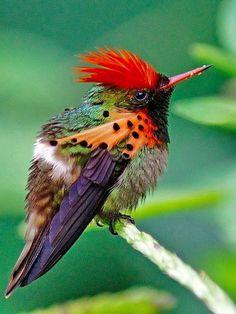"Tufted Coquette Hummingbird (Lopharnis ornatus) Brazil Look at his ""stick"" markings ! Kinds Of Birds, All Birds, Little Birds, Love Birds, Angry Birds, Flying Birds, Pretty Birds, Beautiful Birds, Animals Beautiful"