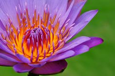 Shows secondary triadic colour-scheme: orange, purple and green. Orange And Purple, Orange Flowers, Yellow, Violet Aesthetic, Flower Art, Lotus Flower, Color Harmony, Secondary Color, Color Stories