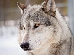 Grey wolves' threat to livestock could increase after animals go back on endangered list - CowboyByte  12/30/14