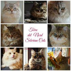 22 Fantastiche Immagini Su Siberian Cats Terre Del Nord
