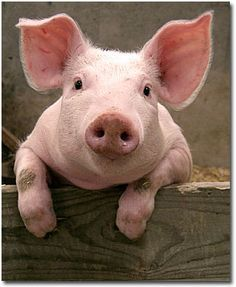 Baby Pigs on Pinterest | Micro Mini Pig, Pot Bellied Pig and ...