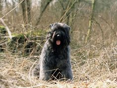 Bouvier Des Flanders dog photo | Bouvier des Flandres : chien et chiot. Flanders Cattle Dog, Vlamse ...
