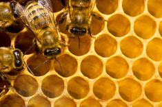 The bee population at Beekman 1802 peaks in mid-July when a queen can lay thousands of eggs a day–which is how a colony of a few hundred can swell to over 10,000 in a couple of weeks.