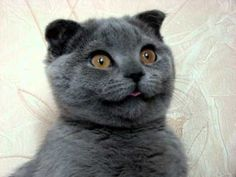 Meet Ksenia, a Scottish Fold feline from Russia and what thousands of internet users are calling the world's cutest cat.
