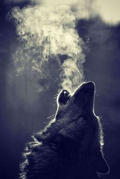 wolf dog breath howl beautiful real Image by Whitney Wolf Photos, Wolf Pictures, Wolf Wallpaper, Animal Wallpaper, Beautiful Wolves, Animals Beautiful, Wolf Artwork, Wolf Painting, Fantasy Wolf