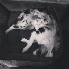 Sleepy time  #blackandwhite #bedtime #bluemerle #miniaussie #jinx #mydog #aussie #aussiedogs #aussiegirl #aussielife #aussielove #aussiesofinstagram #dog #doggie #doglover #dogs_of_instagram #dogsofinstagram #instadog #dogstagram #dogslife #dogsofig #lacyandpaws by the.life.of.jinx