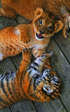 Lion and Tiger Cubs by Ashley Hockenberry on Northwood Wildlife Refuge Big Cats, Cats And Kittens, Cute Cats, Siamese Cats, Kitty Cats, Kittens Meowing, Beautiful Cats, Animals Beautiful, Beautiful Babies
