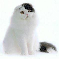 Scottish Fold Cat  I want a Scottish Fold for my pet