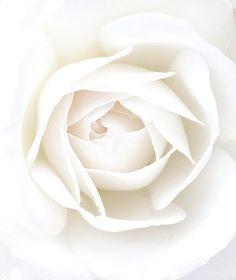 ❖Blanc❖ White rose
