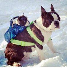 This a cute Boston terrier