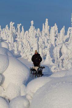 Dog-Sledding in Riisitunturi National Park: Finland.                                                       (Photo By: Erkki Ollila.)