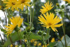 Silphium perfoliatum bekerplant, zonnekroon, vaste plant die geel bloeit aug-sept en 100-1.80 hoog kan worden.