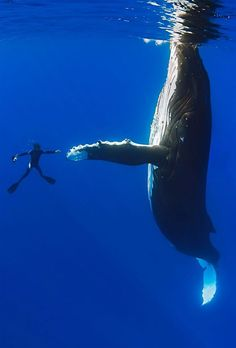 This is the moment a diver appears to shake hands with a giant 52ft whale. The divers were just metres away when one humpback whale – which ...
