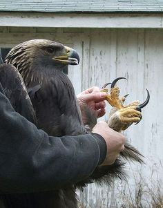 Talons of a GOLDEN EAGLE ...WOW!  It's no wonder they can pick up a small dog!