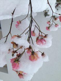 Schnee-Röslein