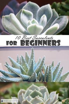 Rose Gardening For Beginners Ten easy care options to get started with - 10 Best Succulents for Beginners. - Have instant success with these 10 Best Succulents for Beginners; easy and most successful types of succulents Taking Care Of Succulents, Types Of Succulents, Planting Succulents, Garden Plants, Indoor Plants, House Plants, Caring For Succulents Indoor, Succulent Plants, Shade Garden