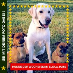 Labrador & Mischlinge Emmi, Elsa & Jamie So, ihr beiden – heute kommt Lektion 1: Wie bekomme ich von meinem Menschen möglichst viele Leckerli… #Hund: Emmi, Elsa & Jamie / Rasse: #Labrador & Mischlinge      Mehr Fotos: https://magazin.dogs-2-love.com/hund-der-woche/labrador-mischlinge-emmi-elsa-jamie/ Foto, Hunde, Hundefutter, Leckerli, Natur