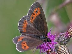 Arran Brown, Erebia ligea, Metsänokiperhonen - Butterflies - NatureGate