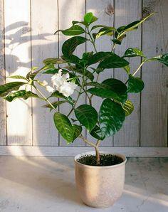 30 Best Indoor Plants - Good Inside Plants for Small Space Gardening Small Space Gardening, Garden Spaces, Container Plants, Container Gardening, Plant Design, Garden Design, Pot Jardin, Inside Plants, Pot Plante