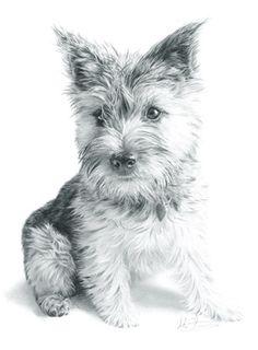 cairn puppy